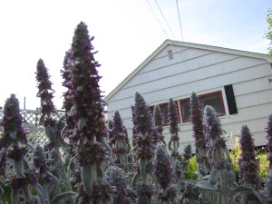 The detached garage (as seen here through lambs' ears) is in the backyard, with an alley entrance.