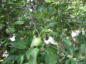 These trees bear fruit.  You'll make cider and applesauce and give away pears